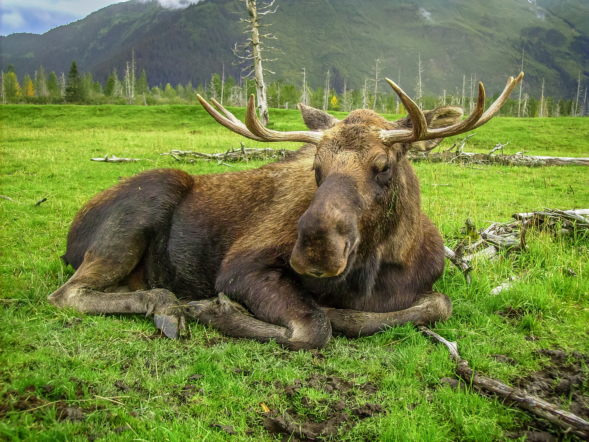 Moose - Alaskan Wildlife Conservation Center