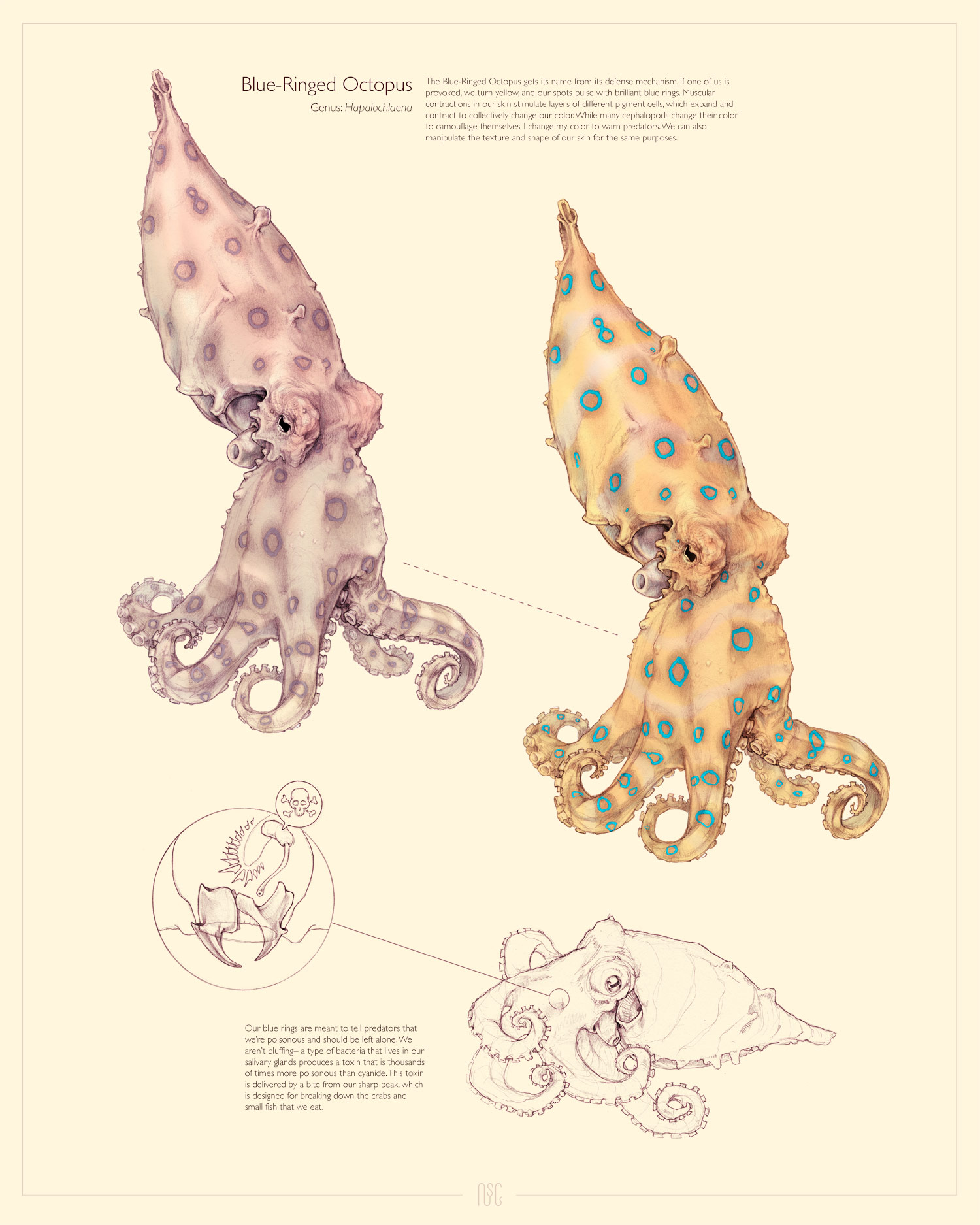 Copy of BLUE-RINGED OCTOPUS