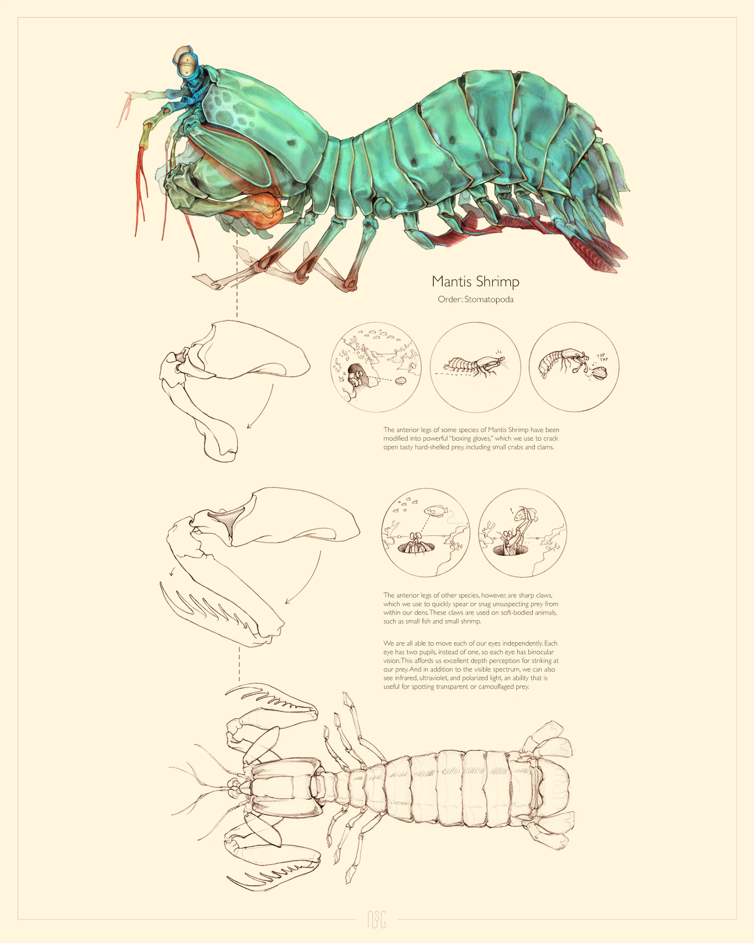 Copy of MANTIS SHRIMP