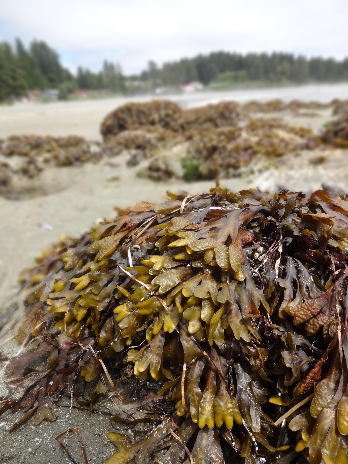 seaweed-726995_1920.jpg