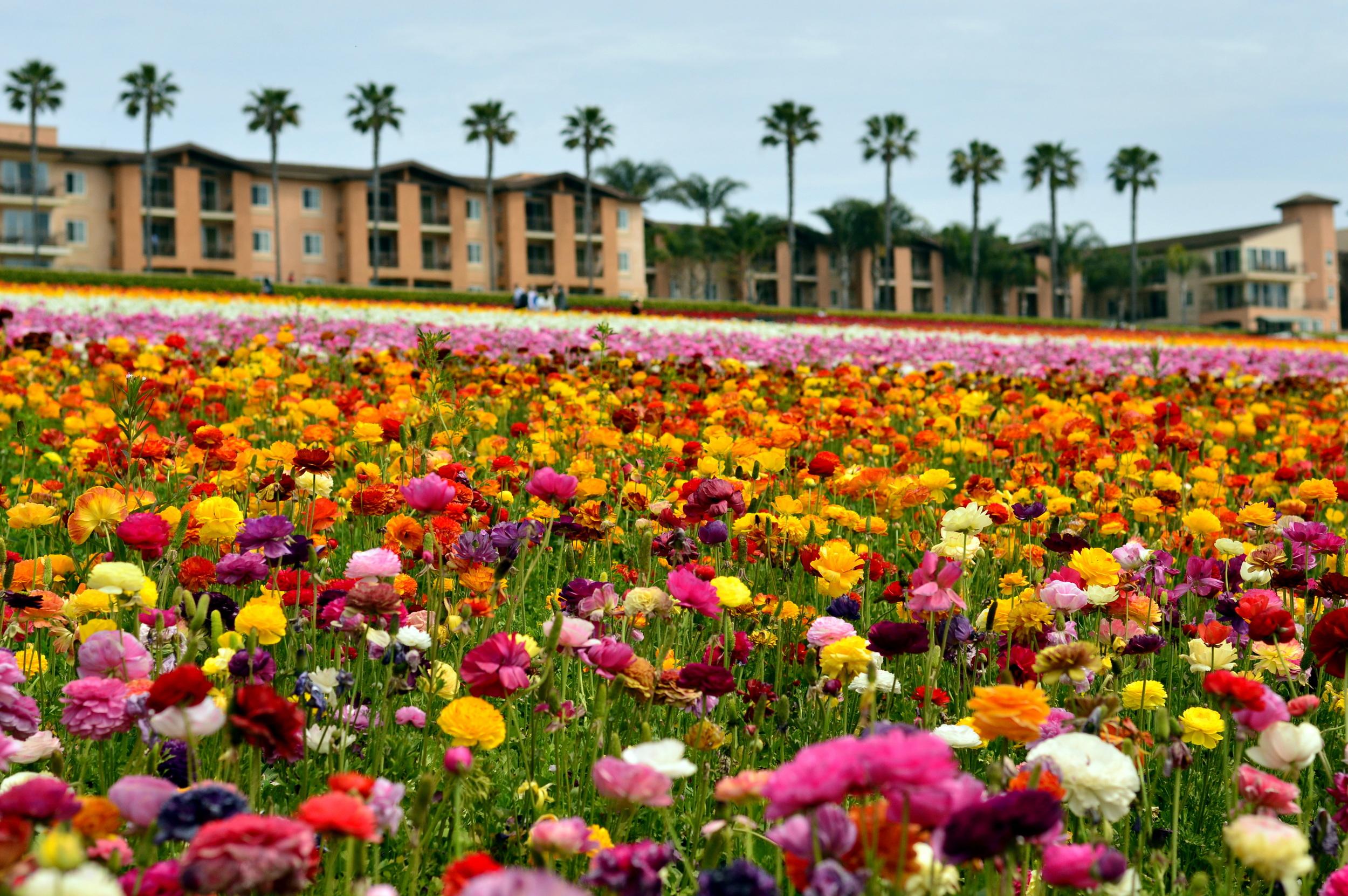 carlsbad-flower-fields-california-travel-blogger