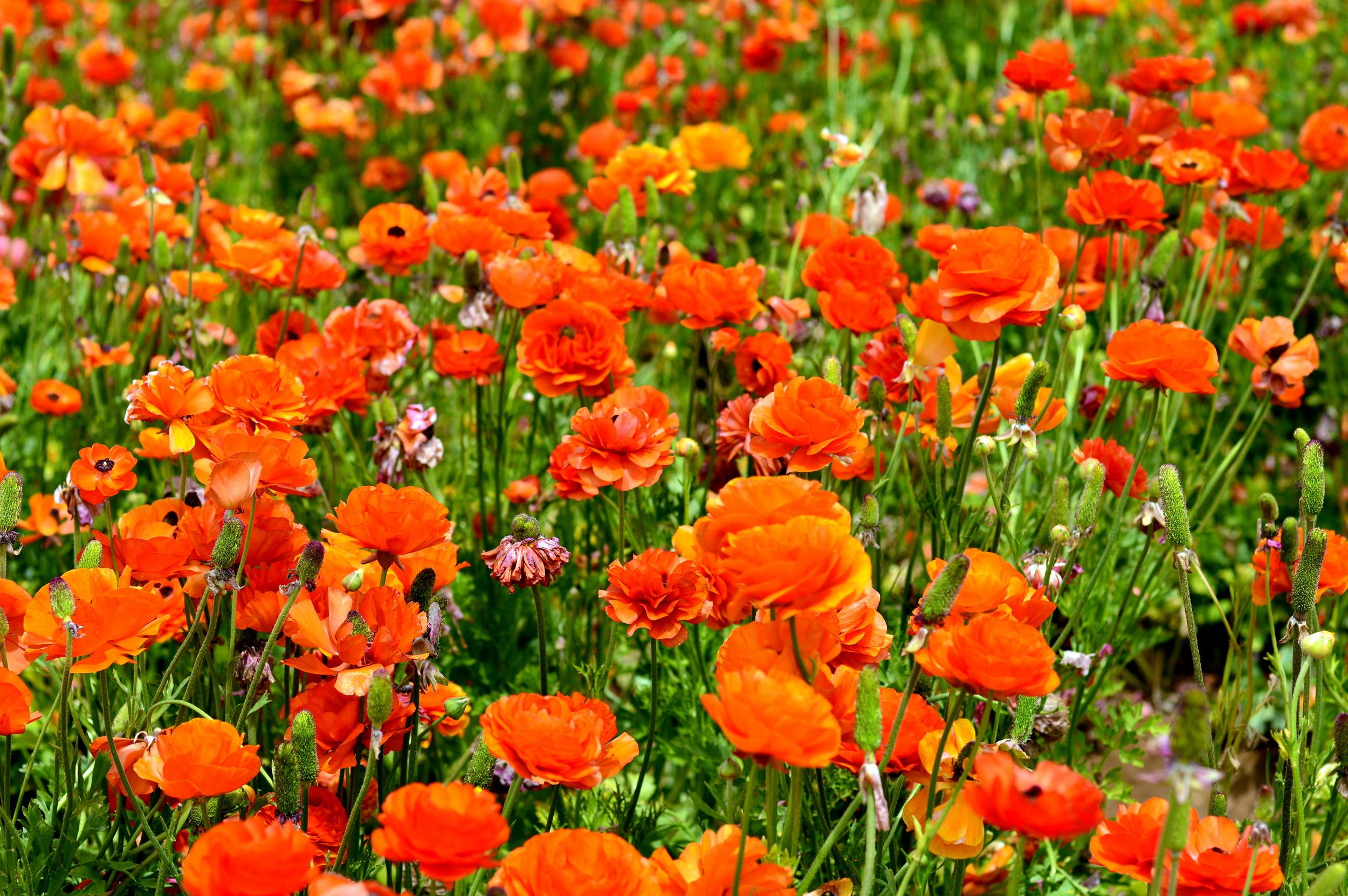 carlsbad-san-diego-flower-fields-travel-blogger 2