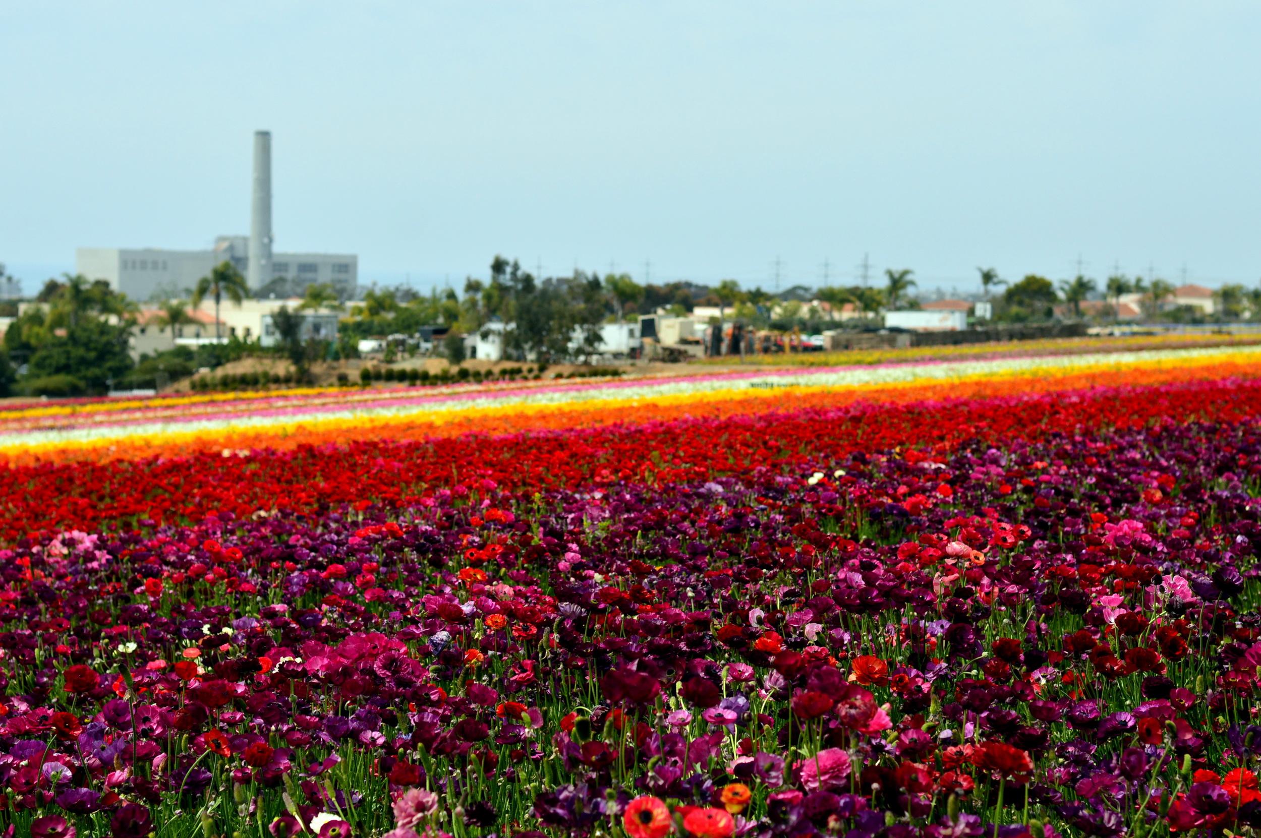 carlsbad-california-travel-flower-fields-blogger