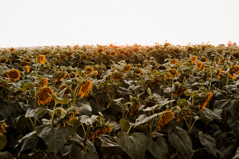 sunflower-fields-dixon-california-blogger 9
