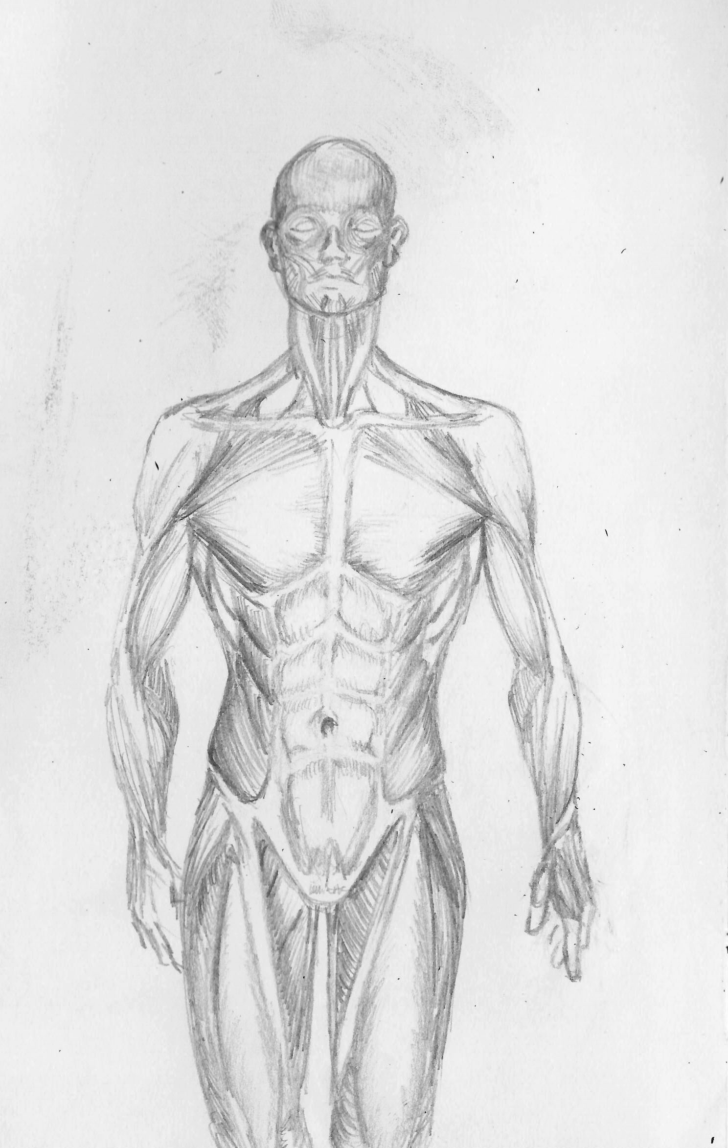 Frontal Musculture.jpg
