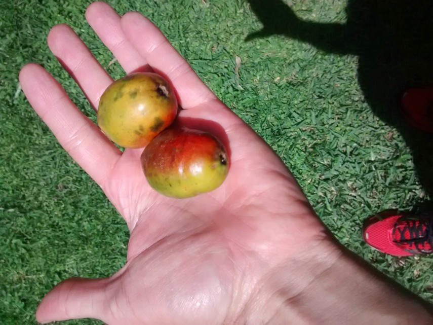 jocote fruits
