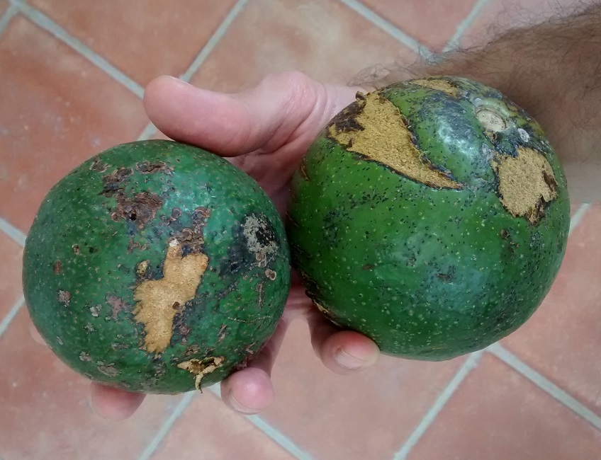 These avocados are bigger,tastier and cheaper than the US standard Hass Avocado. They may not be pretty, but they taste fantastic.