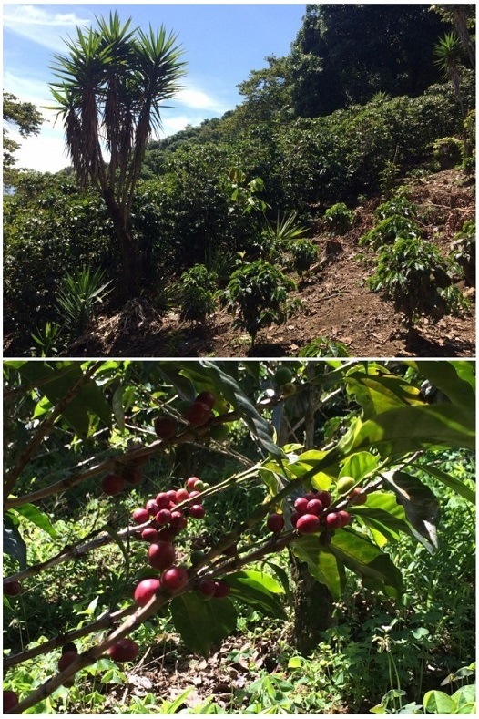 Hiking through a small field of coffee.