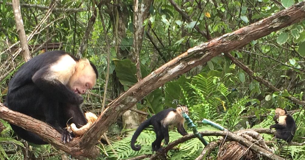 Three little monkeys sitting in a tree...