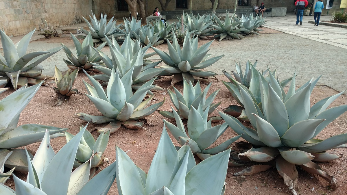 Agave plants located near the center of town