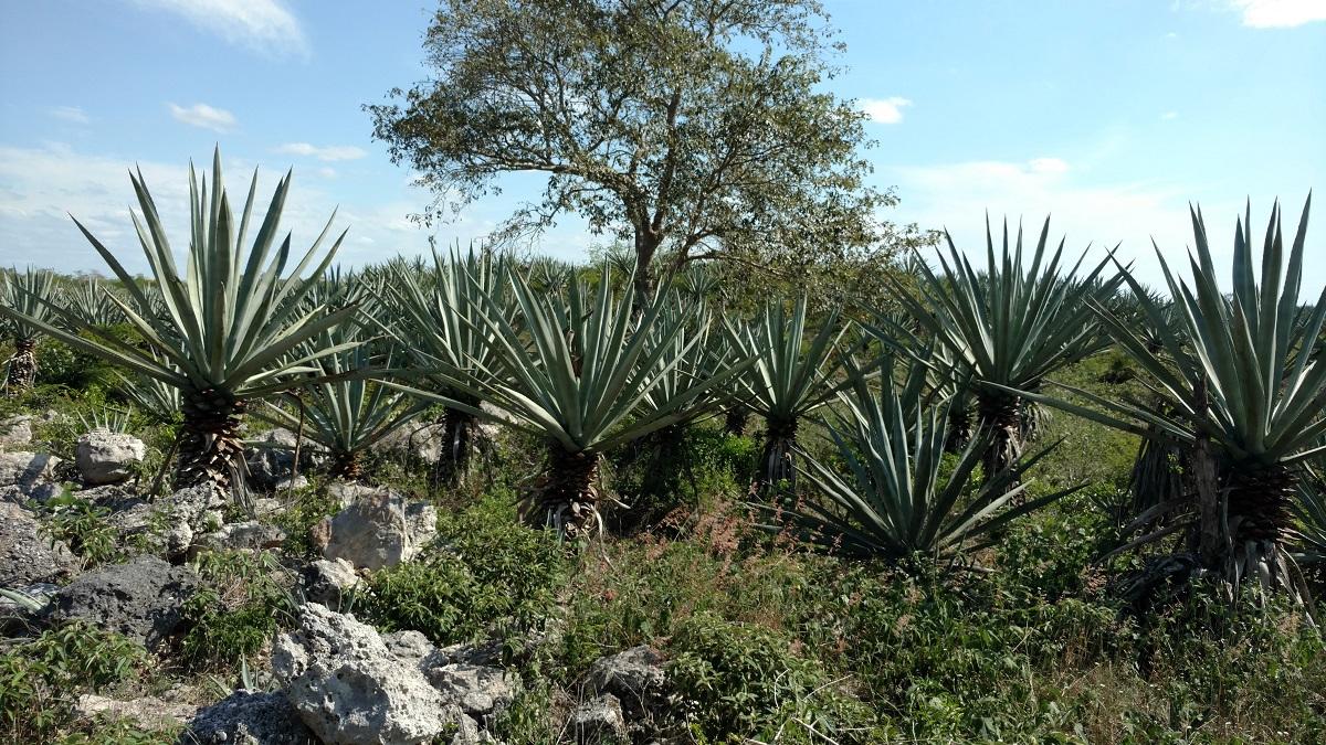 Sisal Agave plants