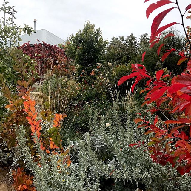 The Autumn weather is changing from golden, smokey & still to chilly, windy & grey days. At least the colder weather brings out the brilliance in those Autumn colours & hopefully rain is on its way 🍂 #autumndays🍁🍂 #myautumngarden #sidonia #home #gardeningaustralia #thefloralforager