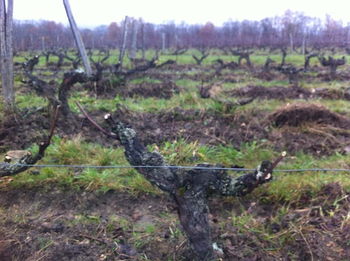 Pruning Gamay vines in December