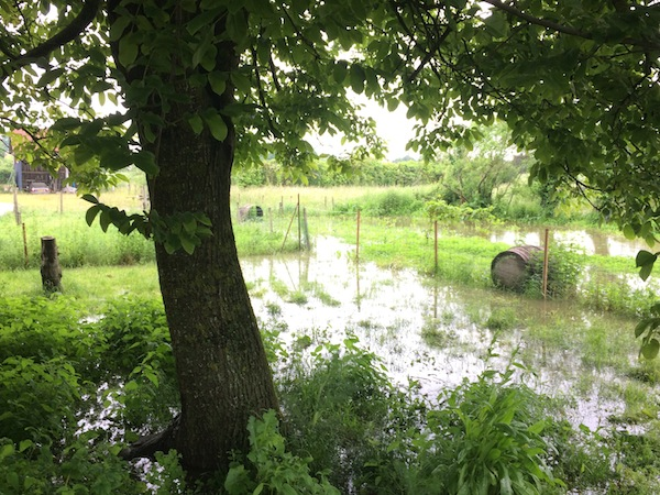 Water levels creeping up to our walnut tree