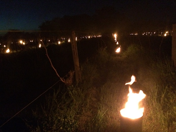 Anti-frost candles ward of threats from dropping temperatures in the vines