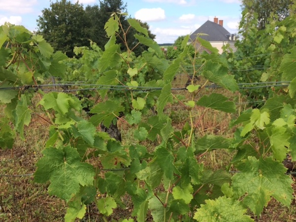 Marie-Claude and Pierre-Philippe's Cabernet vines