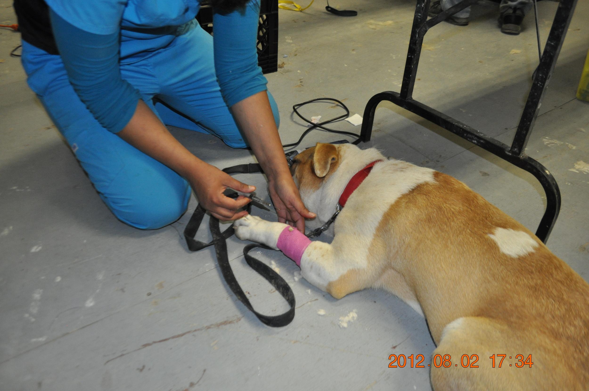 Dog being prepped.JPG