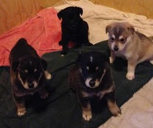 LOXY'S PUPPIES