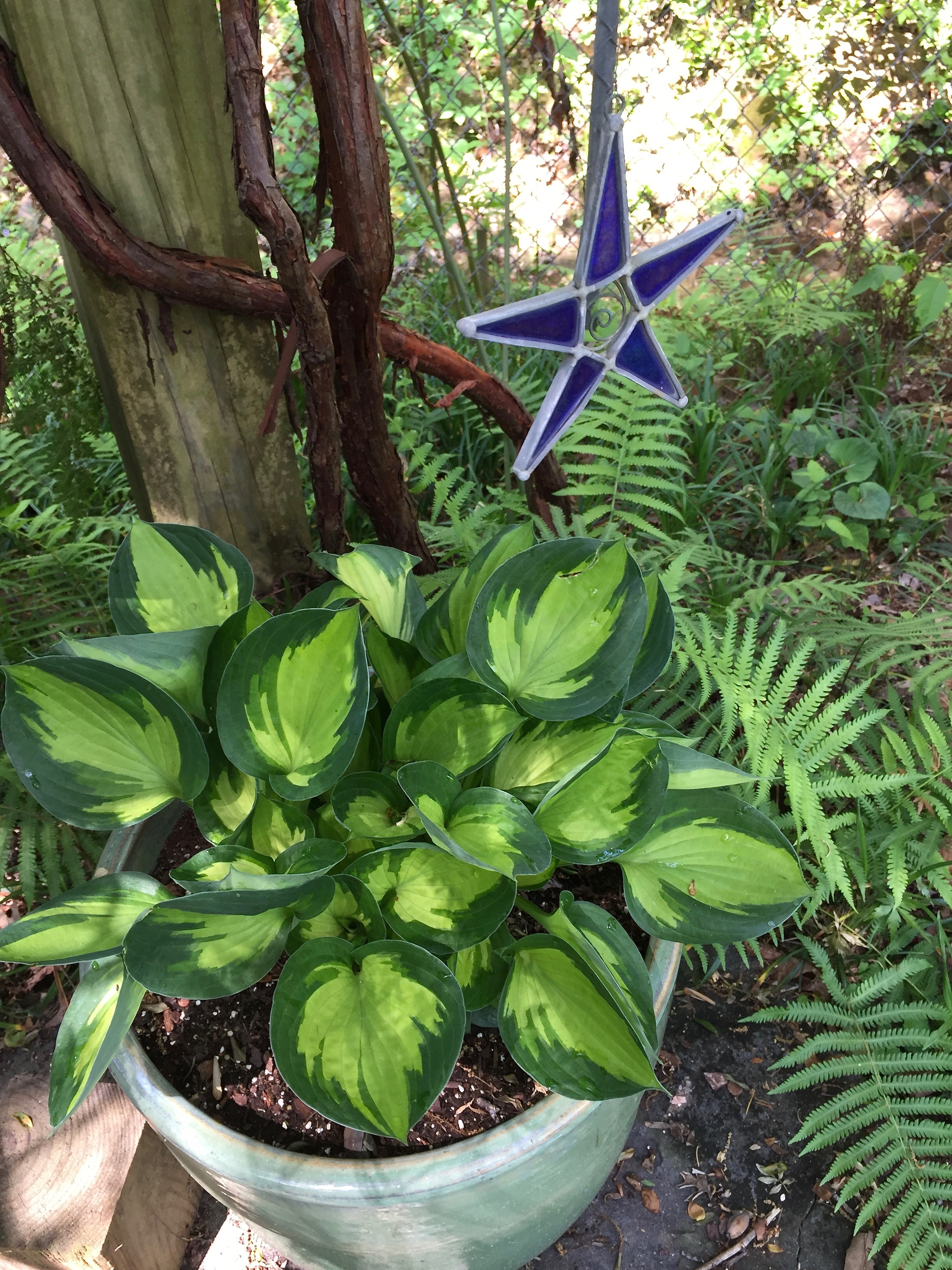 hosta star dialogue