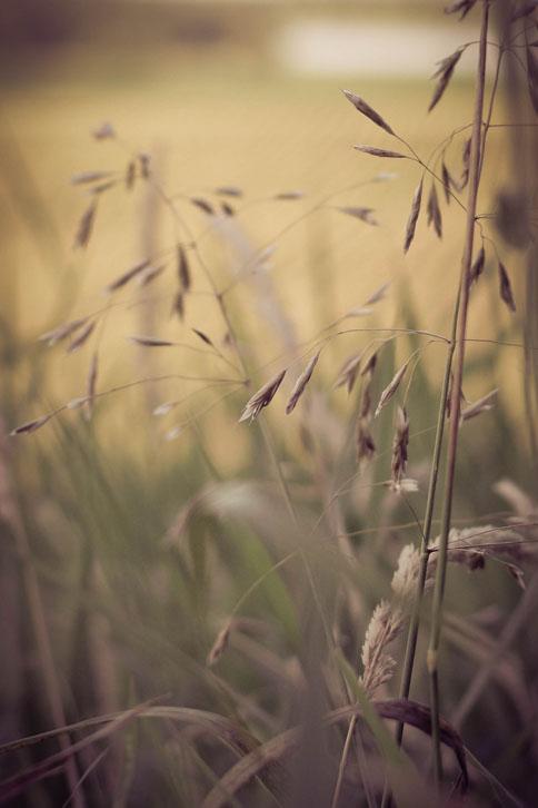 WILD GRASSES IN THE FIELD