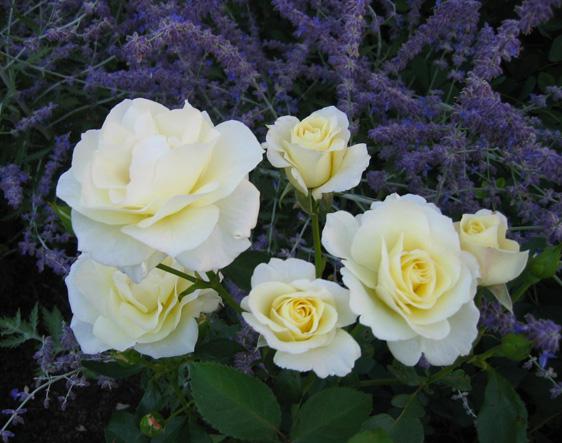 WHITE ROSES NESTLED IN SAGE