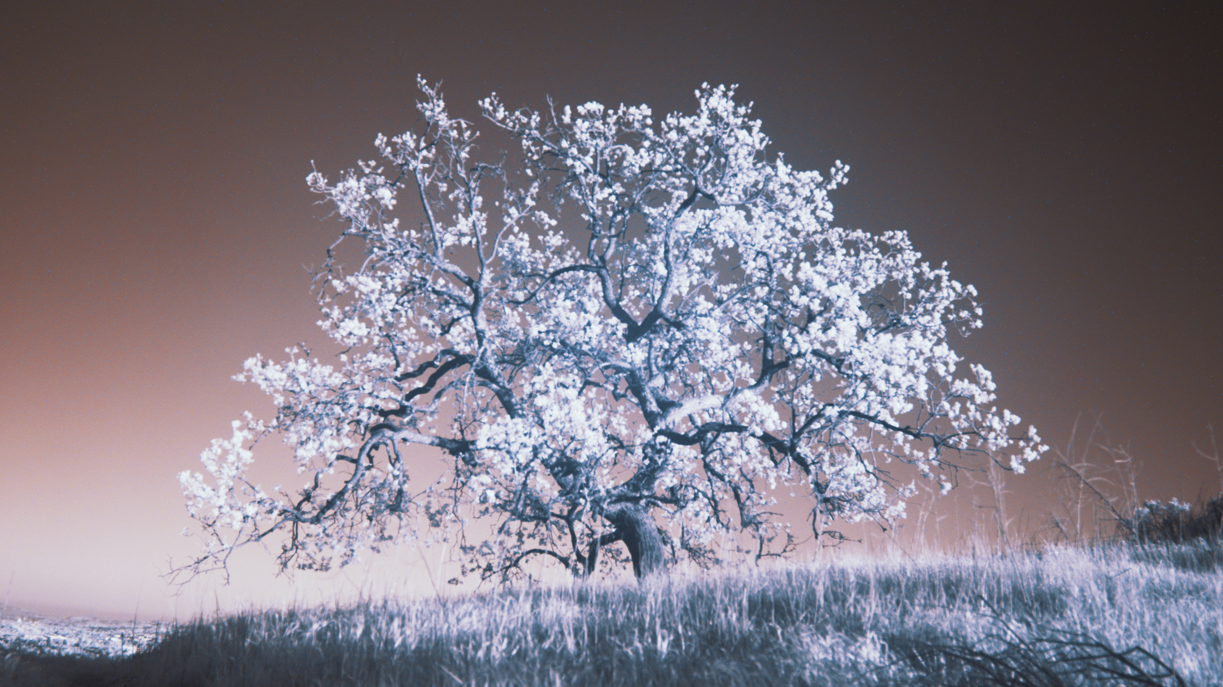 OakTree_InfraRed_Colorized_v1 (00000).jpg