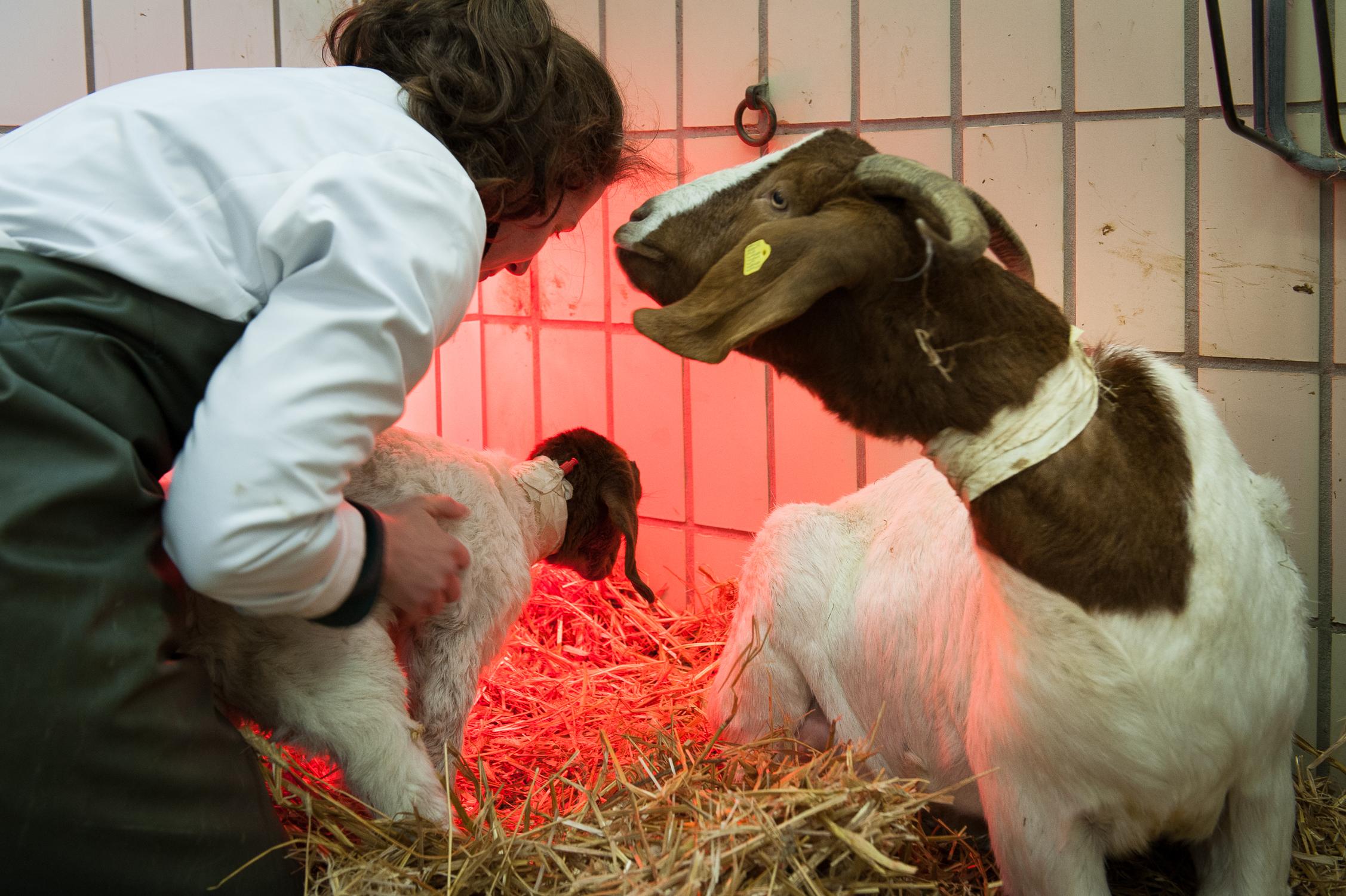201303 Goat Hospital 10.jpg