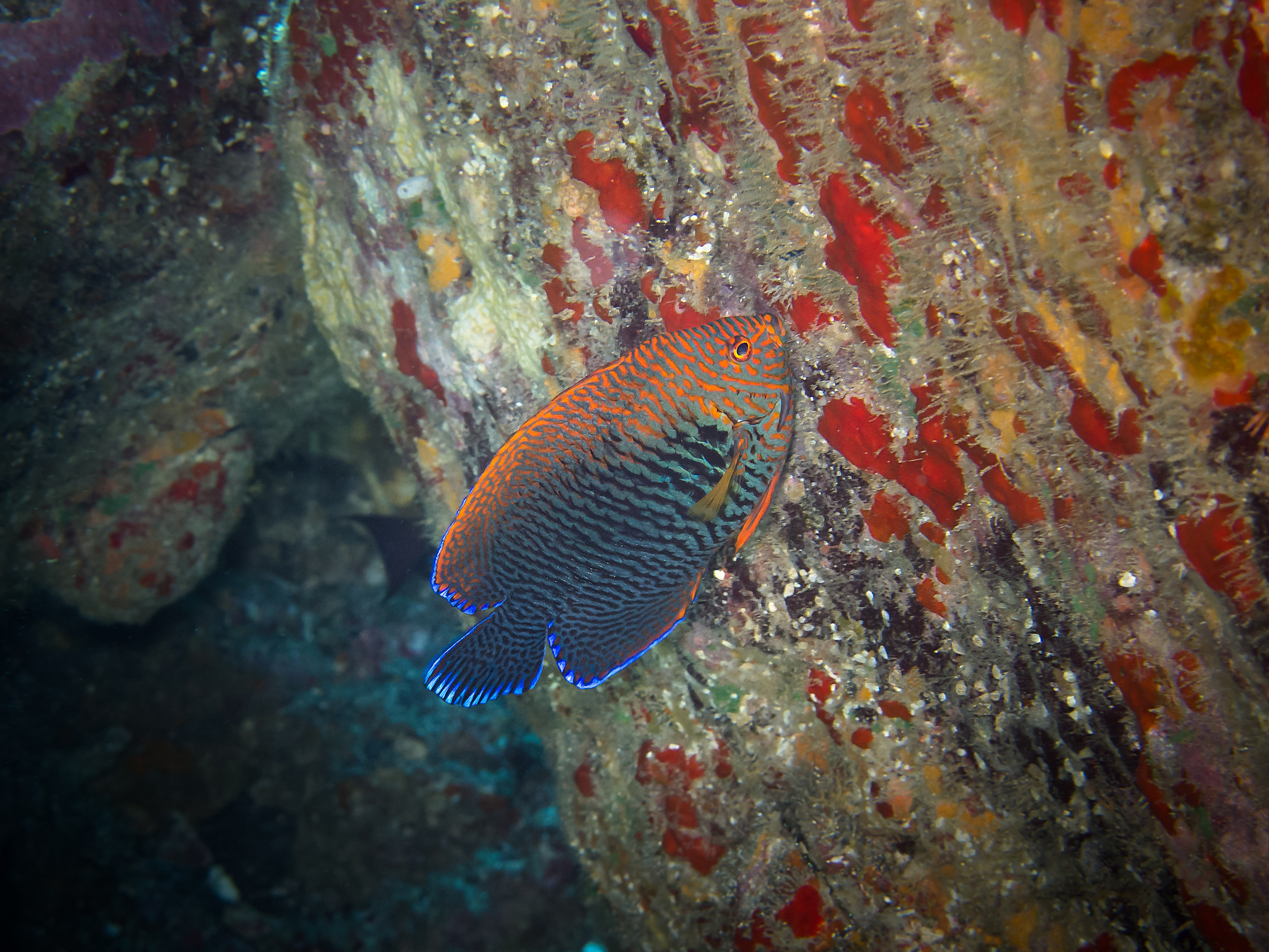 Potter's Angelfish_20130215.jpg