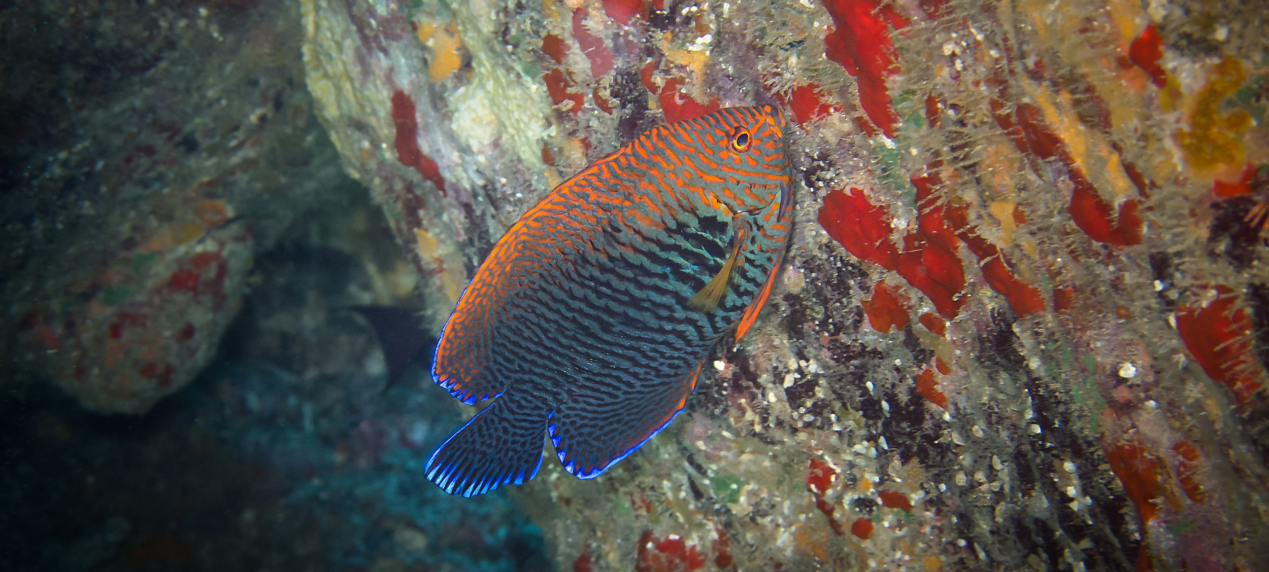 Potter's Angelfish_20130215(Crop).jpg