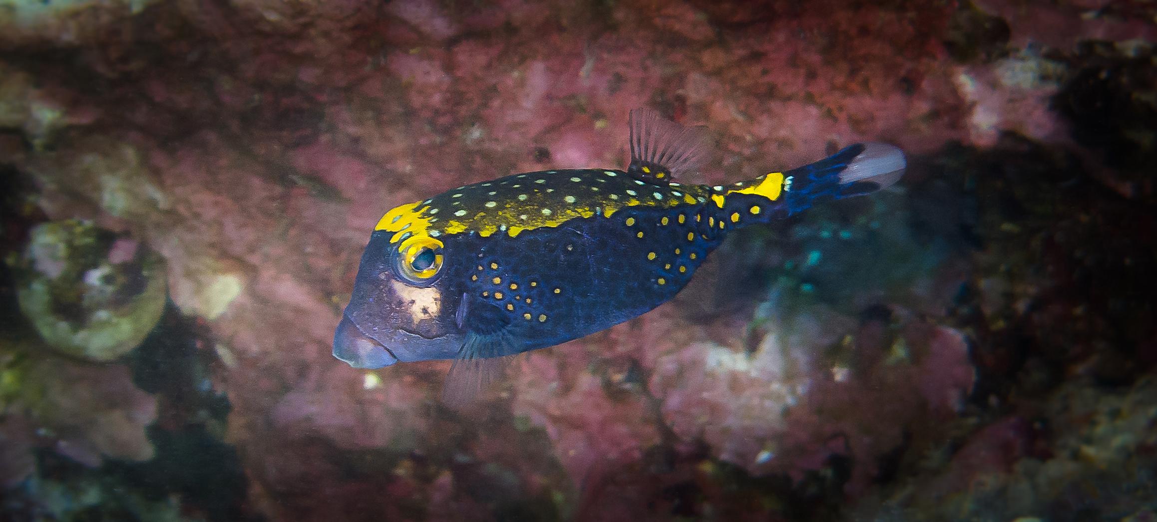 Spotted Boxfish_20140605(Crop).jpg