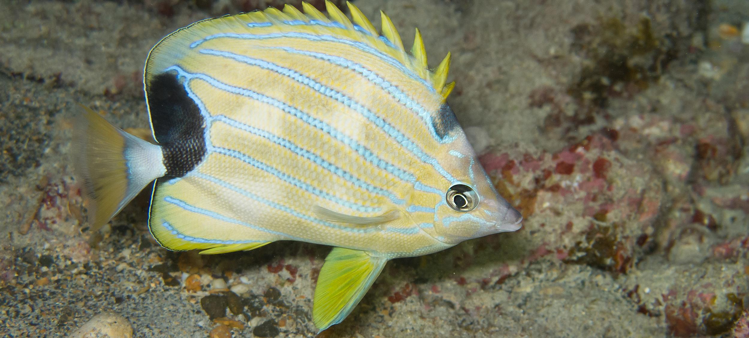 Bluestripe Butterflyfish_20100917(Crop).jpg