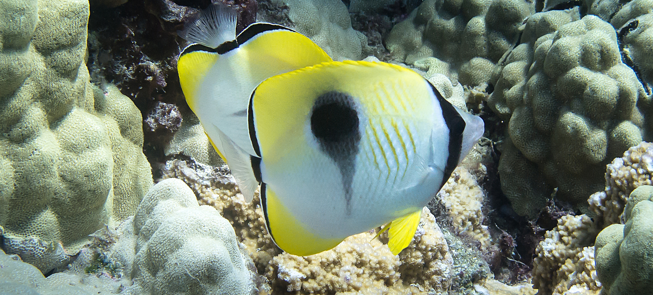 Teardrop Butterflyfish_20130702(Crop).jpg