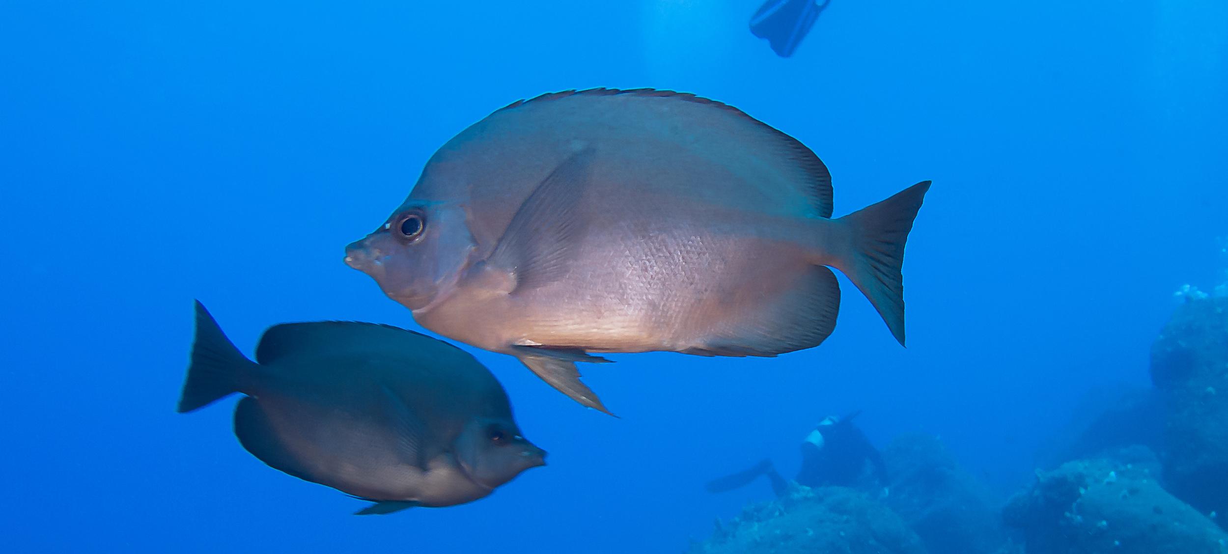 Thompson's Butterflyfish_20130215(Crop).jpg