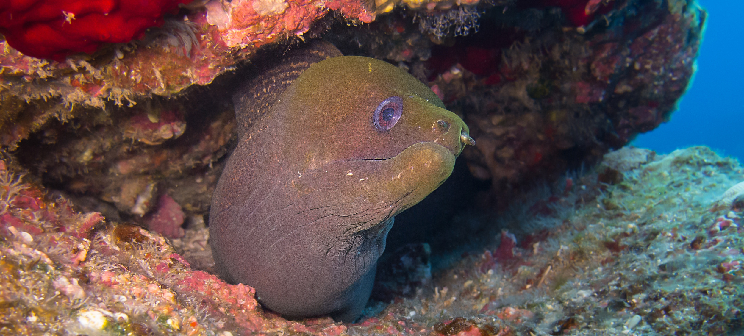 Undulated Moray Eel_20130215(Crop).jpg