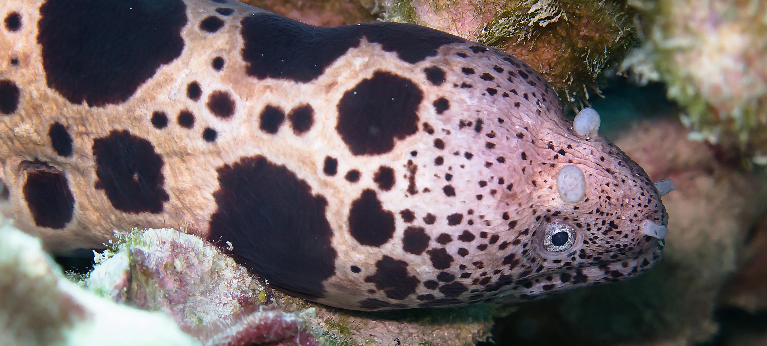 Large-Spotted Snake Moray Eel_20131218(Crop).jpg