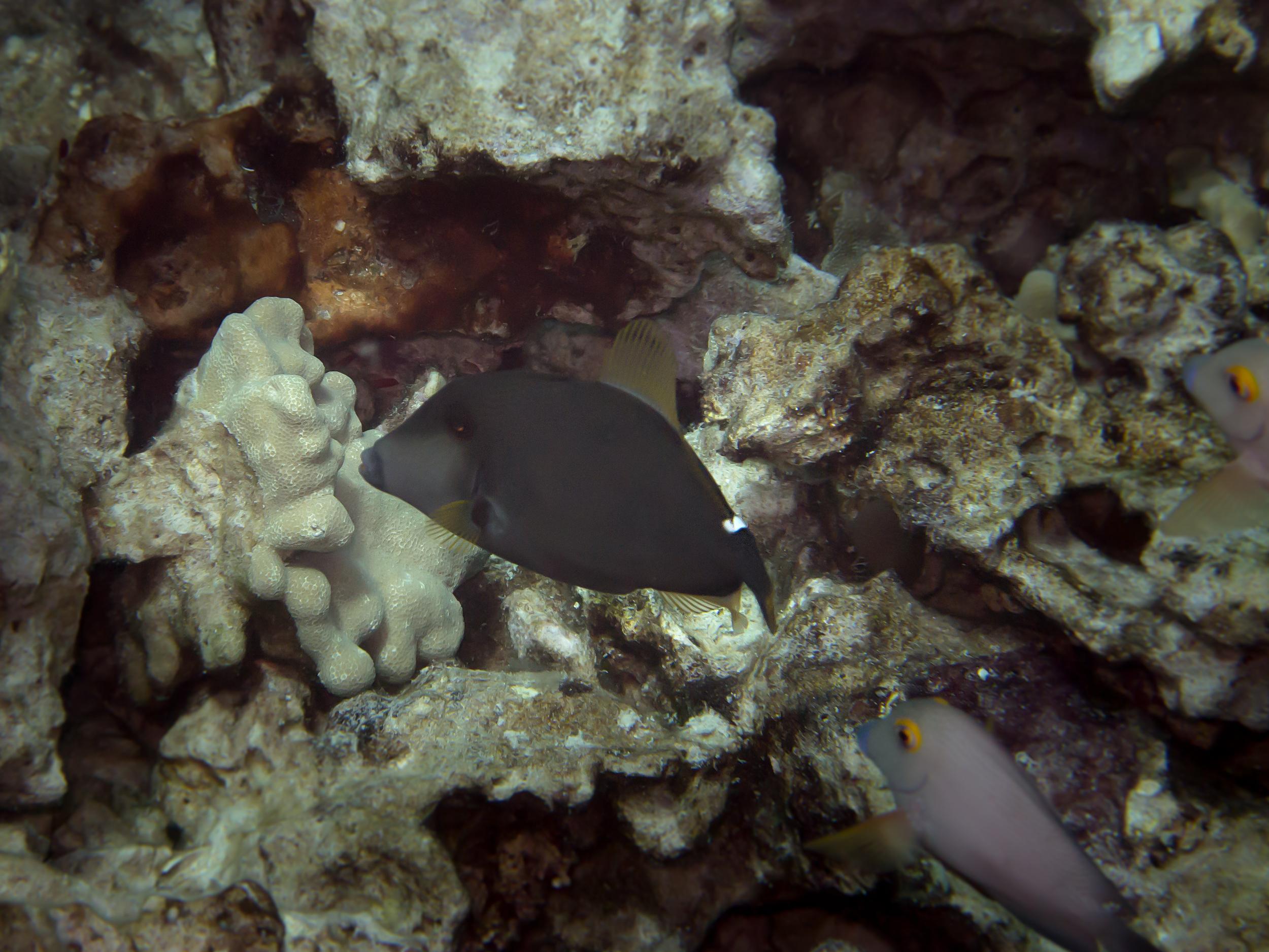 Squaretail Filefish_20140622.jpg