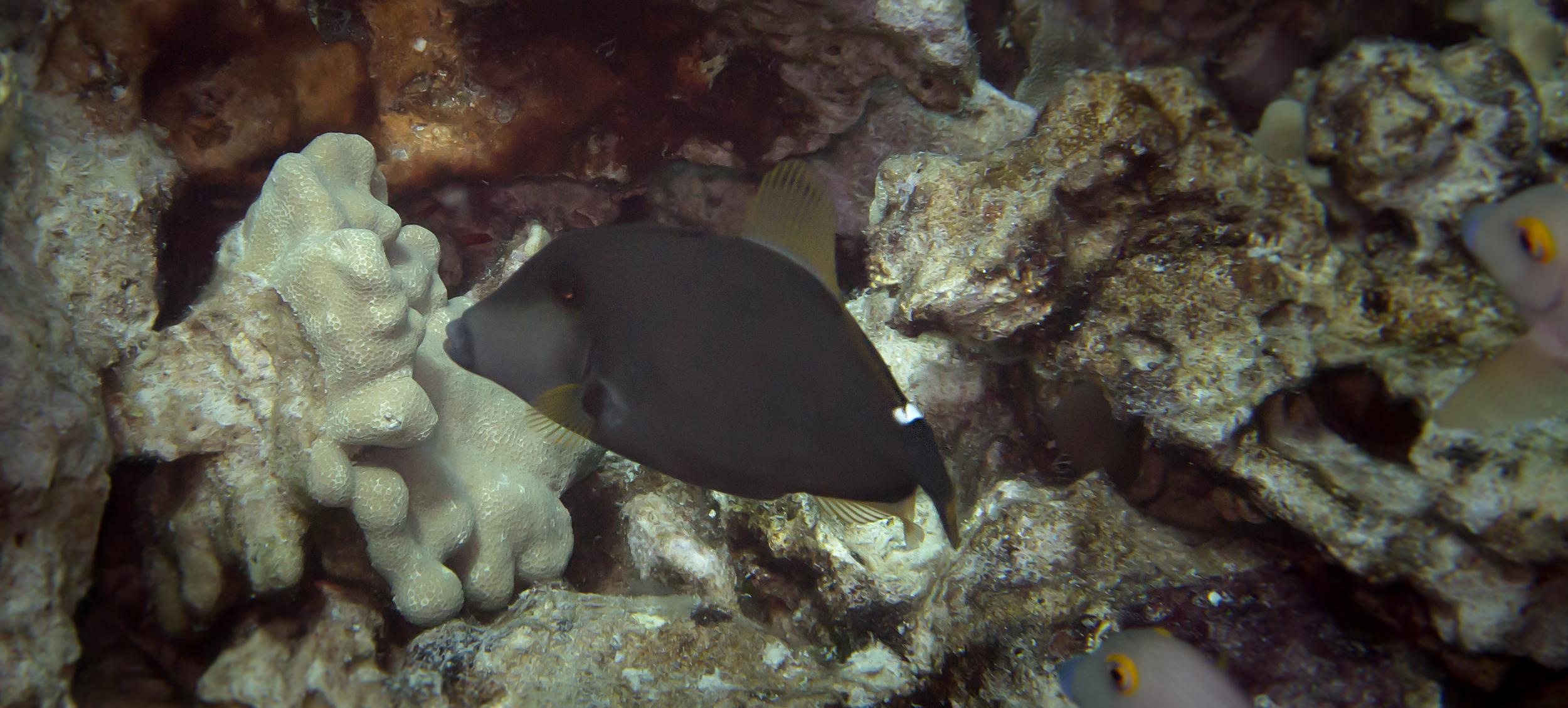 Squaretail Filefish_20140622(Crop).jpg