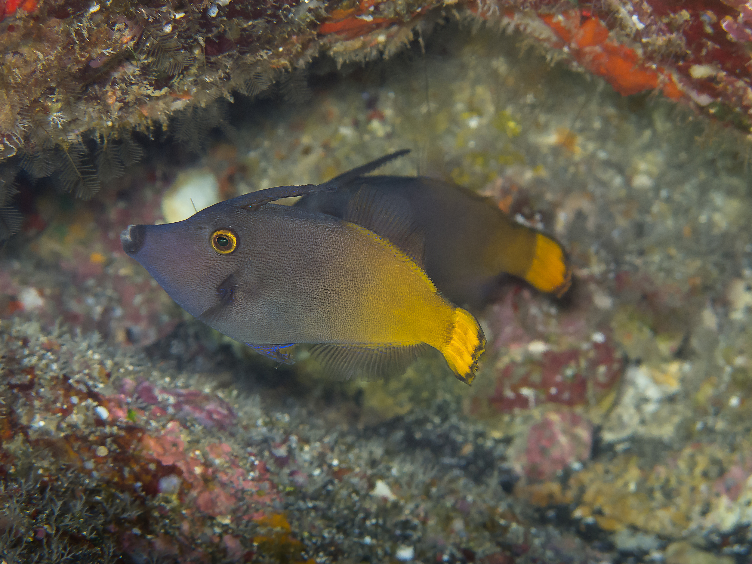 Yellowtail Filefish_20130215.jpg