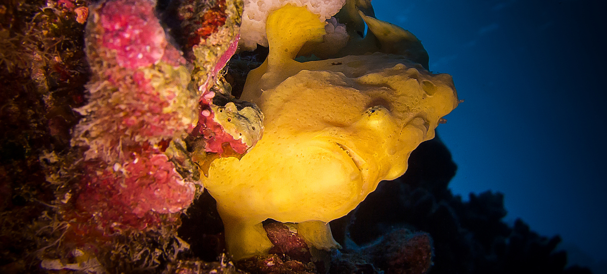 Commerson's Frogfish_20130902(Crop).jpg