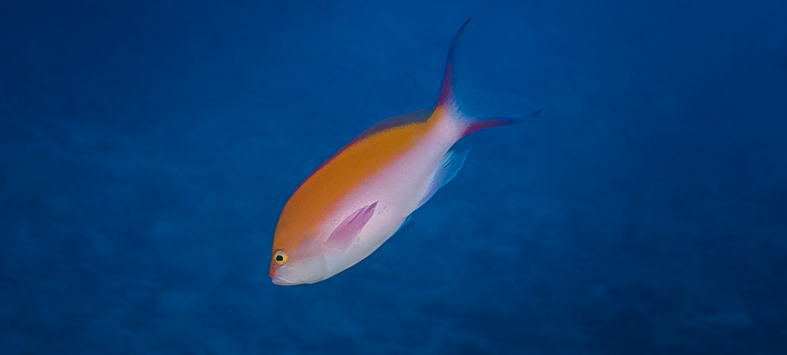 Bicolor Anthia_20140428(Crop).jpg