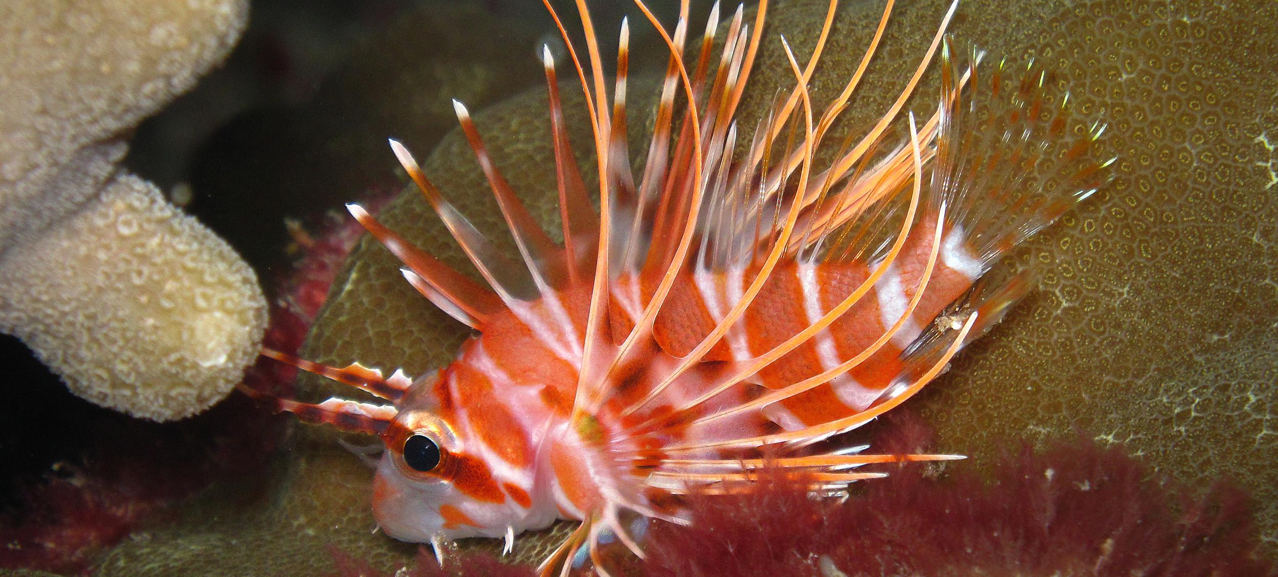 Hawaiian Red Lionfish_20091222-2(Crop).jpg