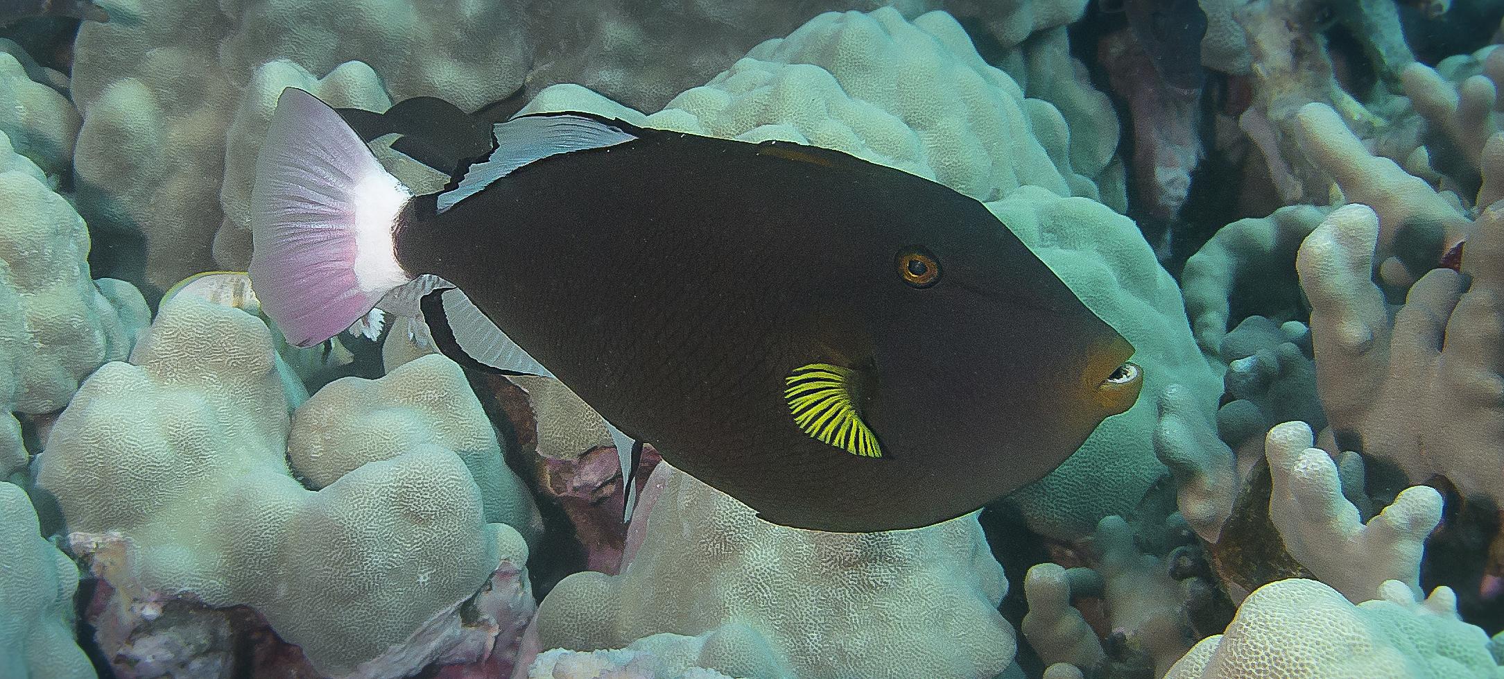 Pinktail Triggerfish_20140612(Crop).jpg