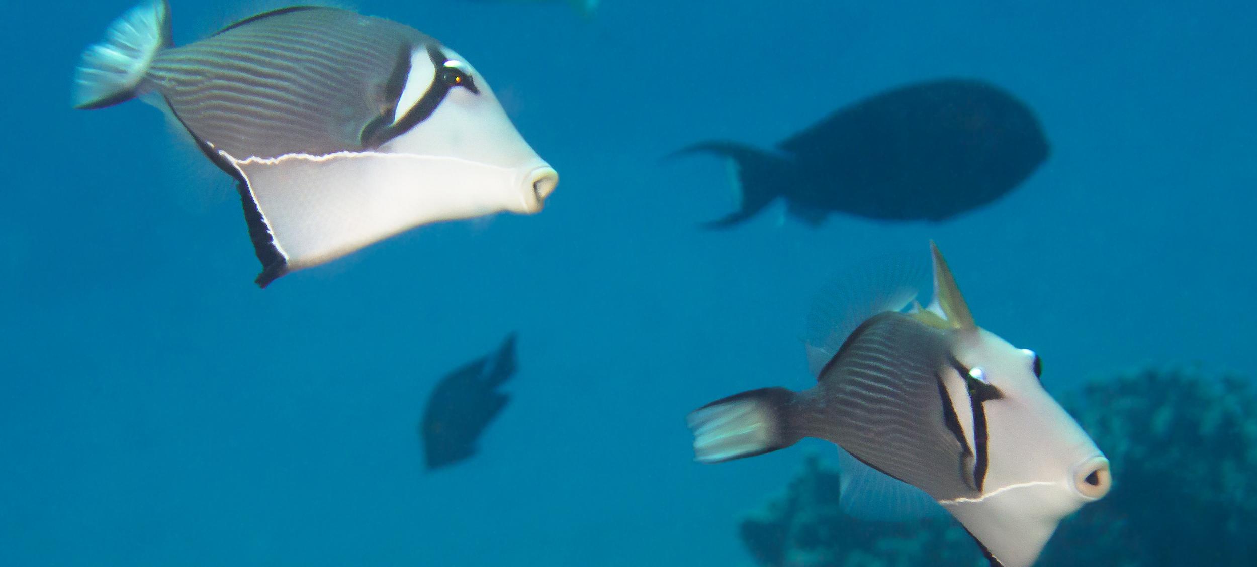 Lei Triggerfish_20140612(Crop).jpg