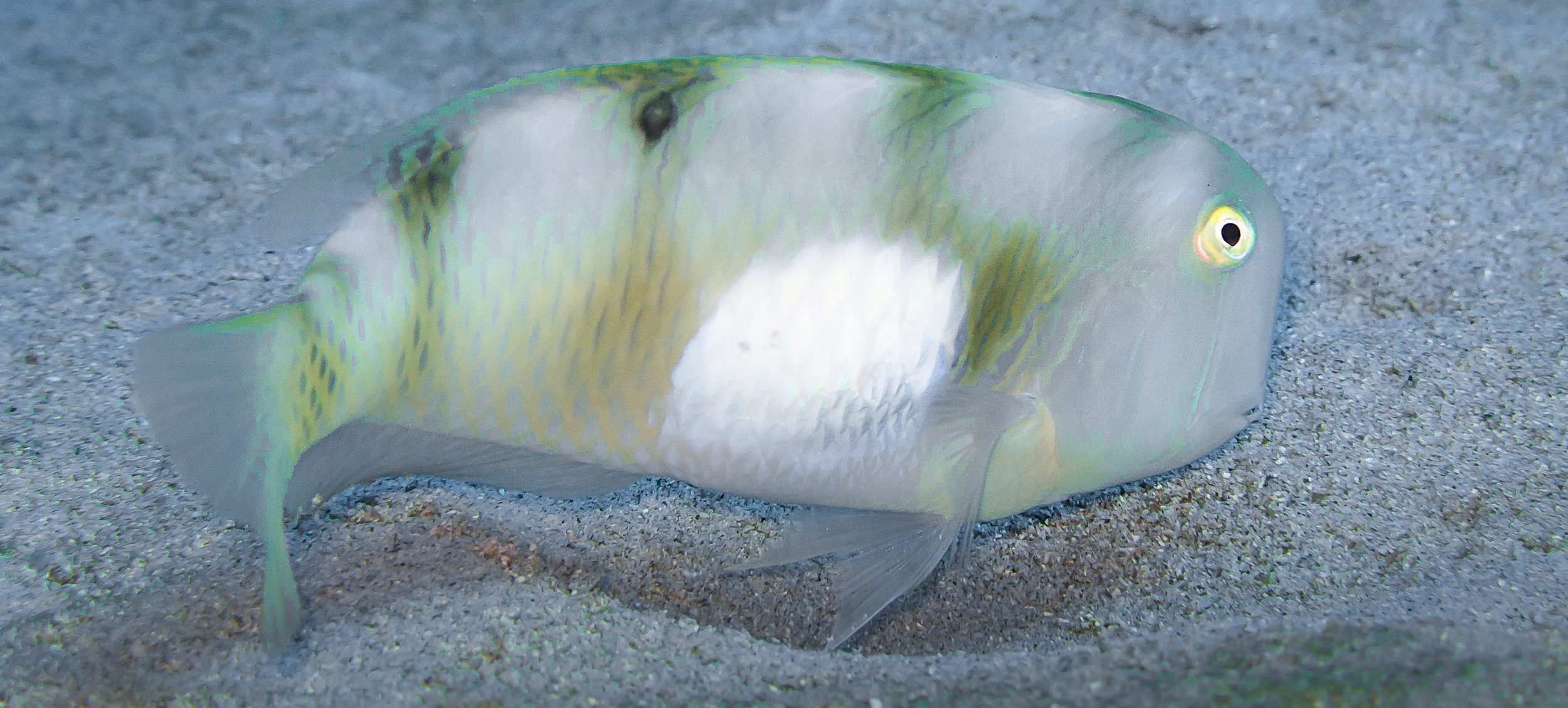 Whitepatch Razor Wrasse_20131127(Crop).jpg