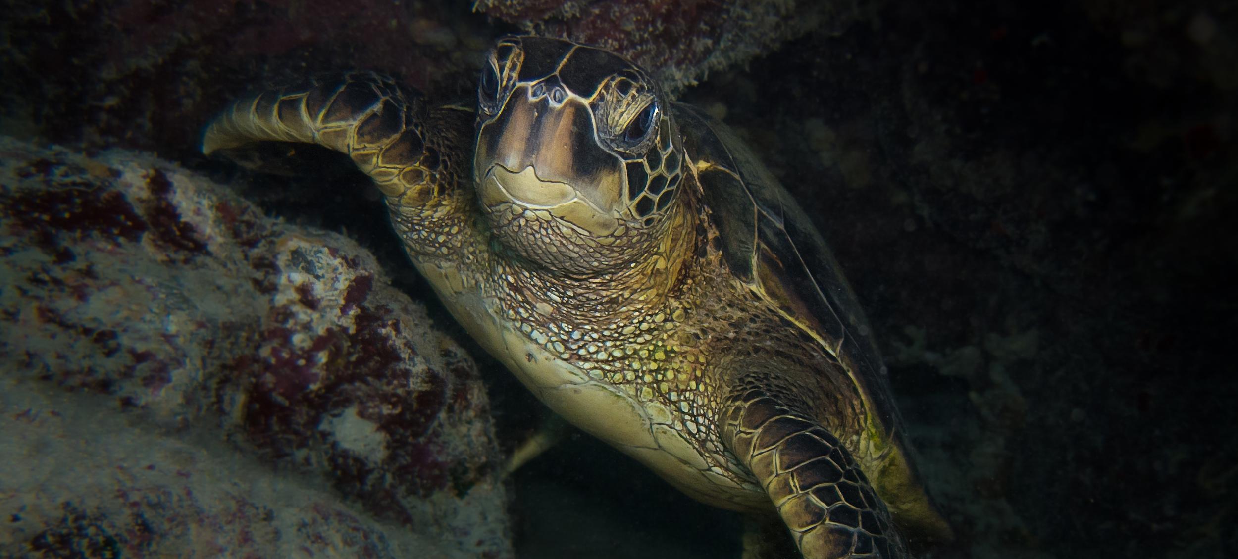 Green Sea Turtle_20131230(Crop).jpg