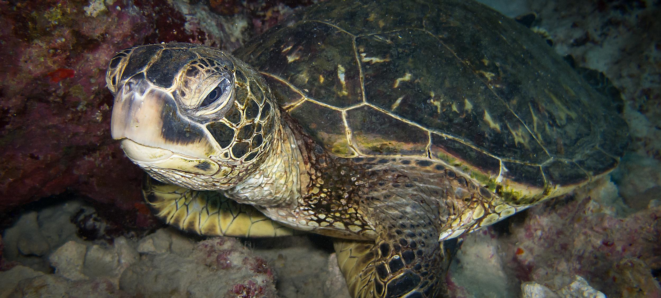 Green Sea Turtle_20140426(Crop).jpg