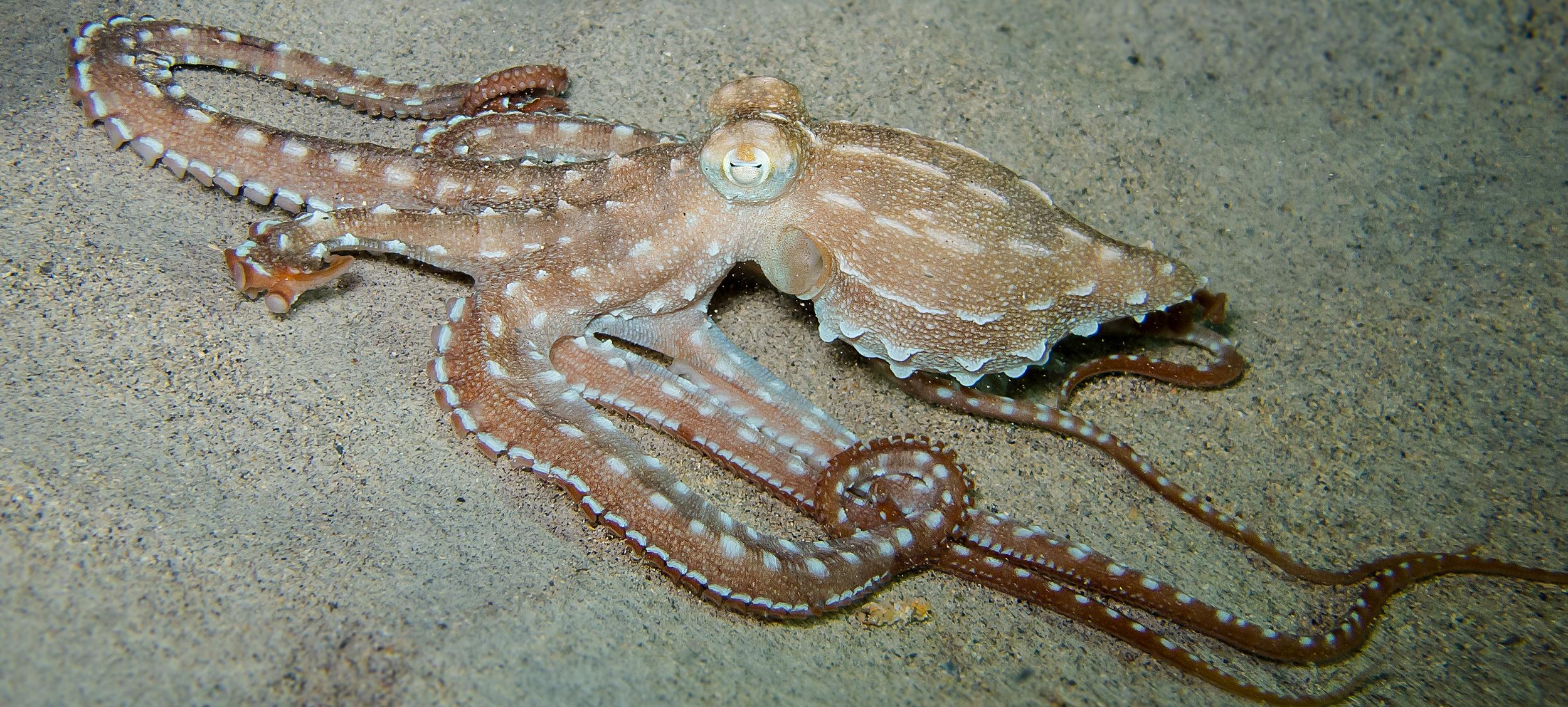 Ornate Octopus_20101207-5(Crop).jpg