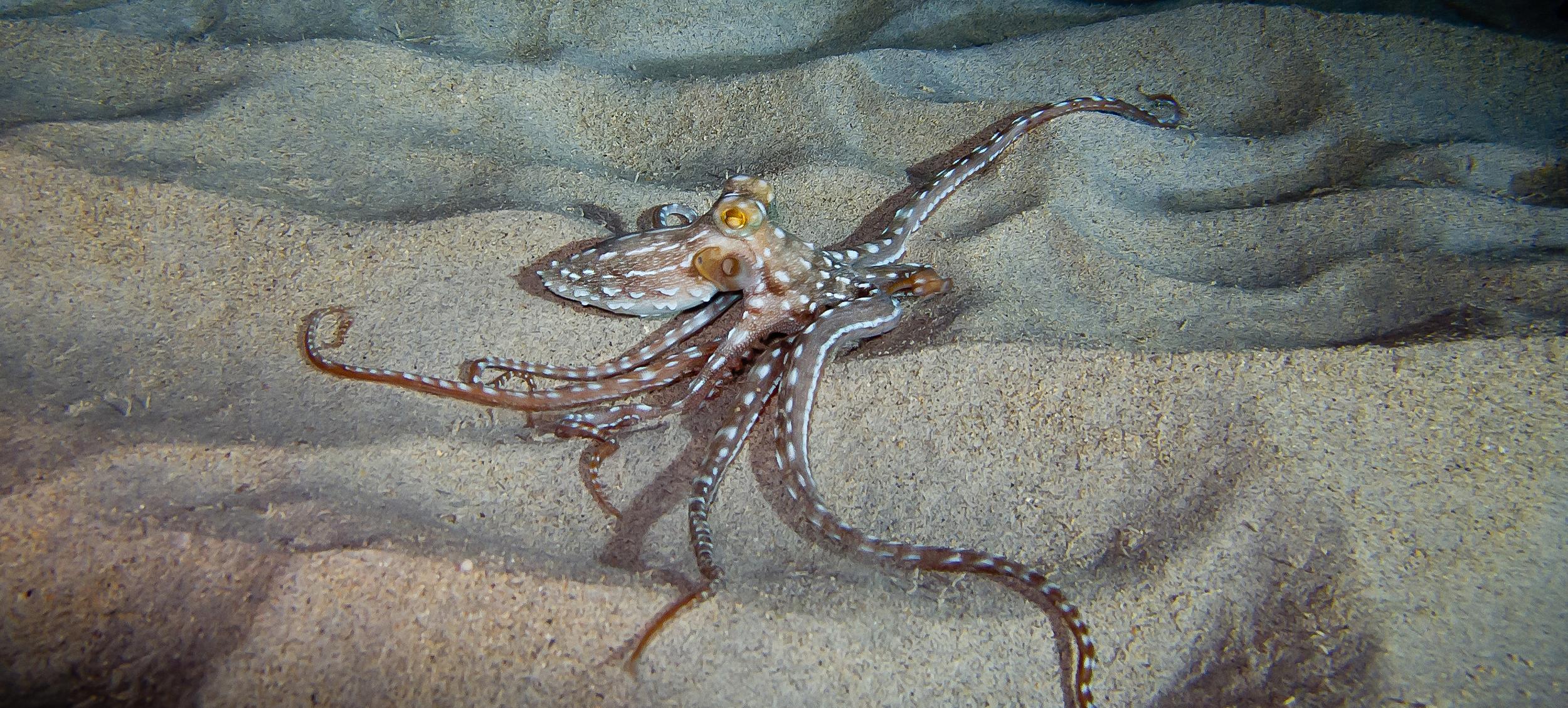 Ornate Octopus_20101207(Crop).jpg