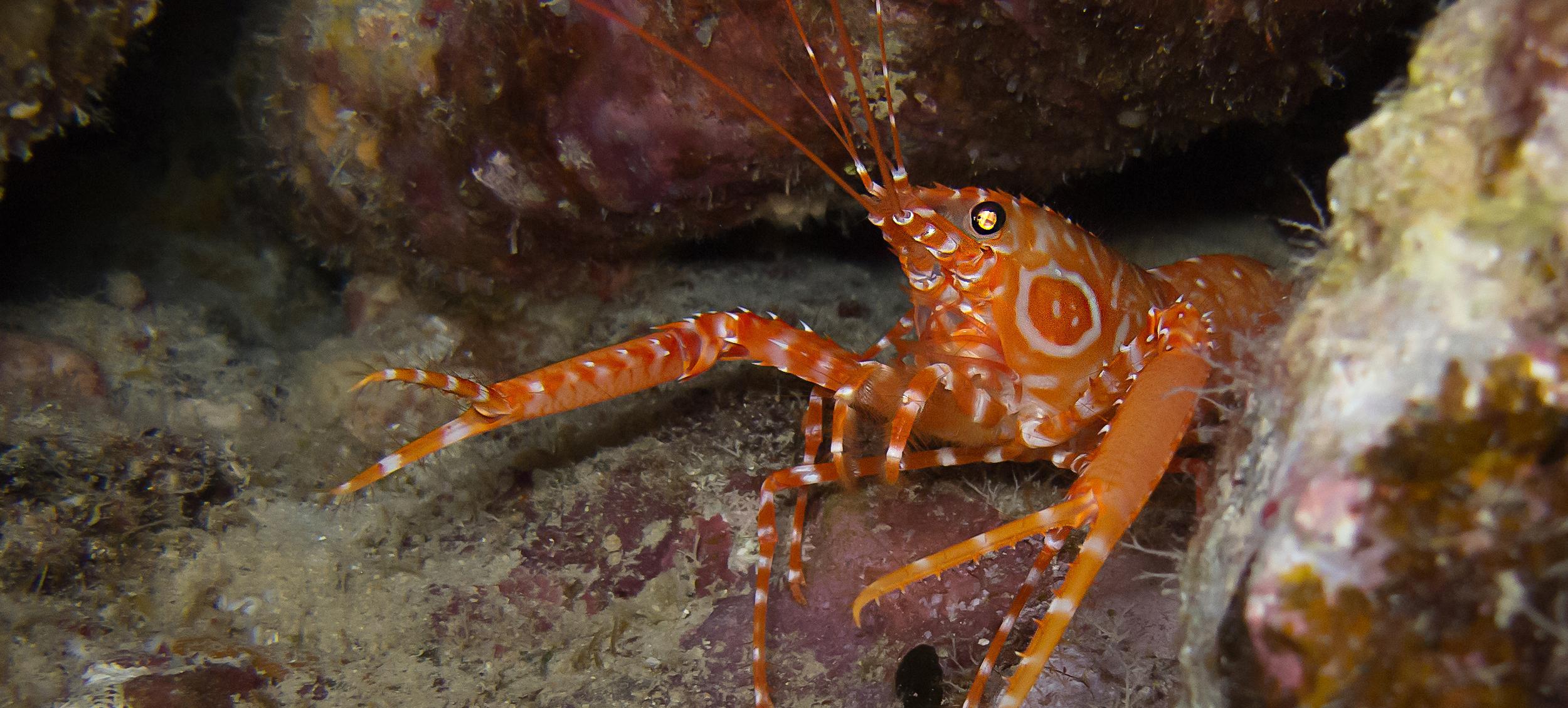 Bullseye Reef Lobster_20140625(Crop).jpg