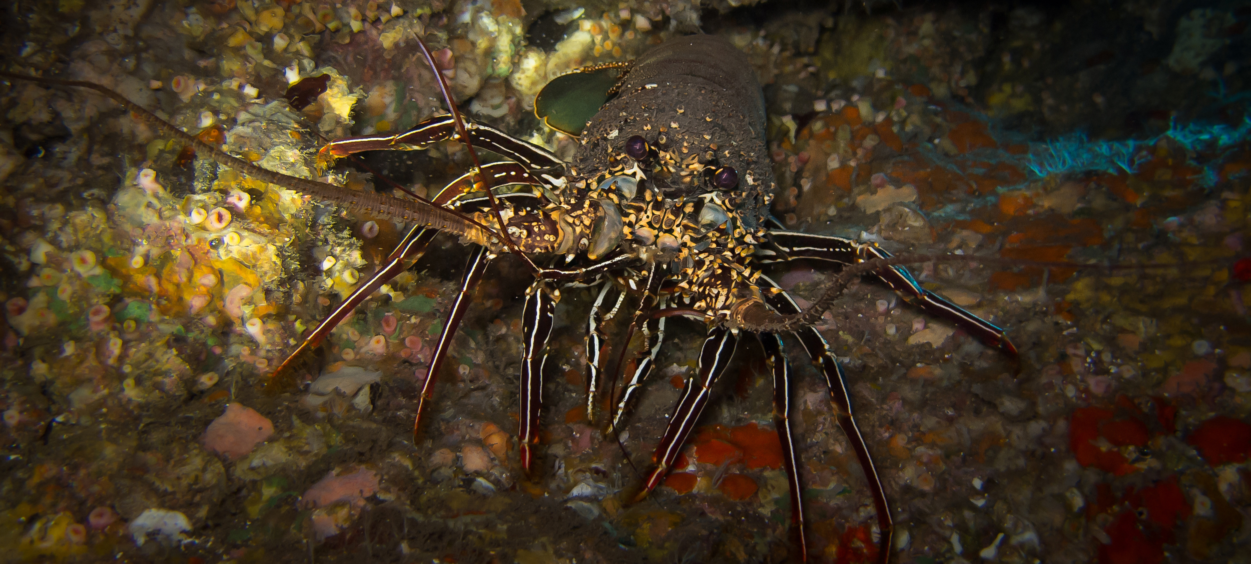 Tufted Spiny Lobster_20130916(Crop).jpg